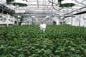 Chile. Abre Chile mayor cultivo de mariguana medicinal en AL