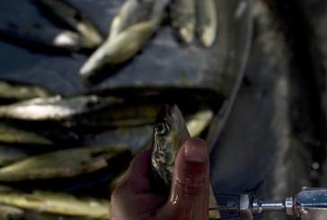 Advierten que los antibióticos que le dan al salmón chileno podrían generar «superbacterias»